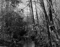 Focus:Leaves (.:Axle:.) Tags: oakville ontario canada trail park hike woods forest lunchbreak fall greenspace oakvillepark ravine creek stream graflex pacemakercrowngraphic crowngraphic presscamera largeformat viewcamera 4x5 sheets schneiderkreuznachsymmars156210 ilford ilfordhp5 hp5 asa200 pyro pyrocathd 11100 photographersformulary pentaxspotmeterv adobephotoshopcc epsonv700 film filmphotography bw blackwhite believeinfilm filmisnotdead filmisalive