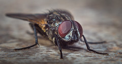 Portrait of a fly :) (kevinbrincat) Tags: extreme macro smc 50 f17 pentax rings