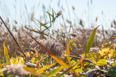 20161105-_IGP8029 (STC4blues) Tags: libertystatepark grassiness grass