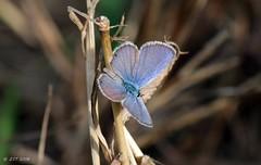 Ceraunus Blue (zeesstof) Tags: butterfly ceraunusblue containmentpond hemiargusceraunus insect naturewalk sterlingridge texas thewoodlands zeesstof