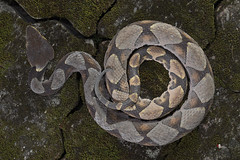Deinagkistrodon acutus (Gnther, 1888) (Sam's Photography Life) Tags: ma marco nature canon 1dx 100mm 1d snake