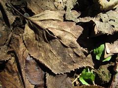 An Imaginary Forest #217 (tt64jp) Tags:  japan japanese  nature plants tree leaf leaves forest     plant flora foliage   gunma kiryu      apricot fallenleaves fallenleaf