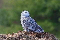 Snowy Owl (Marv and Sue Elliott) Tags: 2016 fall vermont snowyowl inat