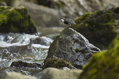 Cincle plongeur - white-throated dipper (mehdiapic) Tags: plongeur whitethroated dipper nature wildlife cincle