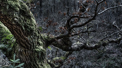 160416ClydeFalls2488tmpw (GeoJuice) Tags: scotland clydevalley woodland temperatebroadleafforest mirkwood geojuice earthe