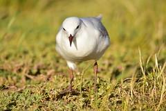 Silver Gull (Luke6876) Tags: silvergull gull bird australianwildlife
