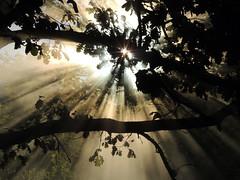 Due stelline tra i rami della quercia (anto_gal) Tags: toscana siena 2016 colle valdelsa elsa caldane acqua terme sorgente nebbia vapore sole raggi