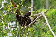 Leniwiec | Sloth