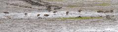 Wilson's Snipes (Mike Matney Photography) Tags: 2016 canon eos7d midwest mississippiriver missouri november riverlandsmigratorybirdsanctuary snipe bird birds nature wildlife westalton unitedstates us wilsonssnipe shorebird