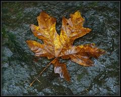 Love for Leaves #1002 (Ernie Misner) Tags: f8andfindaleaf autumn columbiagorge erniemisner nik capturenx2 cnx2 polarizer