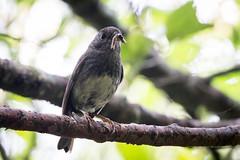 Toutouwai (Brendon & Keryn) Tags: zealandia well spring newzealand northisland north island robin toutouwai petroica longpipes