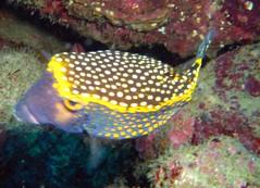box puffer fish (Carpe Feline) Tags: carpefeline mauritius scubadiving ocean reefs morayeels anemonefish scorpionfish lionfish arrowcrab nudibranch needlefish underwater