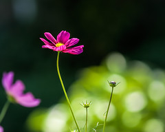 Cosmic Bokeh... (zoomclic) Tags: canon closeup colorful cosmos pink green garden yellow flower foliage dof dreamy bokeh nature outdoors xsi ef200mmf28lusm bright cheery zoomclicphotography