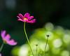 Cosmic Bokeh... (zoomclic) Tags: canon closeup colorful cosmos pink green garden yellow flower foliage dof dreamy bokeh nature outdoors xsi ef200mmf28lusm bright cheery zoomclicphotography