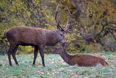 Gizza Kiss (mikedenton19) Tags: red deer cervus elaphus stag hind mammal studley royal park rutting season fountainsabbey fountains abbey nationaltrust national trust yorkshire north ripon uk british wildlife male female autumn