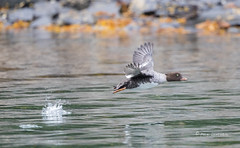 Goldeneye in Flight (Rick Derevan) Tags: alaska bird commongoldeneye duck goldeneye kodiak bucephalaclangula