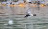Goldeneye in Flight (Rick Derevan) Tags: alaska bird commongoldeneye duck goldeneye kodiak bucephalaclangula