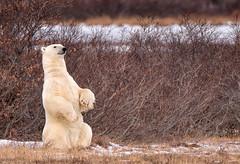 Did Someone Say Pose? (SandyK29) Tags: polarbear churchill manitoba canada bear polar arctic tundra wildlife beautyinnature beauty wilderness posing white tundragrass grass nature animal wildpolarbear snow cold fall nikond800