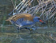 WATER RAIL (acerman17) Tags: waterrail nature wildlife water hunting searching