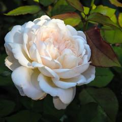 Giverny Rose (San Francisco Gal) Tags: rose rosa flower fleur bloom blossom giverny monetsgarden normancy france ngc npc
