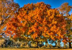 Autumn Tree Washington Park [Explore!] (Terry Aldhizer) Tags: autumn tree washington park roanoke vinton fall maple november terry aldhizer 4th time
