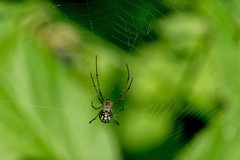 2016  Black and Yellow Argiope Spider (Argiope aurantia) 2 (DrLensCap) Tags: black yellow argiope spider aurantia weber spur trail labagh woods chicago illinois abandoned union pacific railroad right way il rails to trails cook county forest preserve district preserves robert kramer