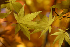 Acer palmatum Sango-kaku 1 (wundoroo) Tags: nybg newyorkbotanicalgarden newyork bronx fall autumn november leaves maple acer