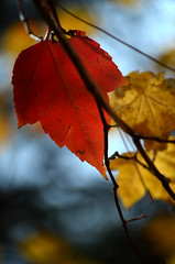 Already a beautiful memory (James_D_Images) Tags: autumn fall foliage leaves colour red yellow branches bokeh backlit spokane washington