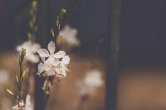 Elegidos (eLuVeFlickr) Tags: mallorca viaje eluve eluveflickr flowers flores urbano urban calle outdoor nikon d7000 18 50mm valldemossa travel
