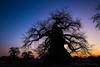 23-Botswana_2016 (Beverly Houwing) Tags: africa botswana desert islandoflostbaobabs kalahari mgadikgadipans saltpan dusk glow wideangle silhouette tree baobab