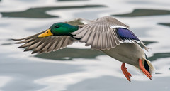 Mallard  |  Stockente (Natural Photography by CJH) Tags: stockente mallard bif inflight flight fly land incoming bird vogel natural wildlife nature wild nikon d500 telephoto 300mm pf f4 300mmf4 300f4 nikkor pfedvr tc14eiii