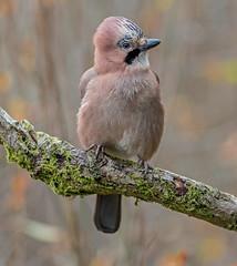 DSC4750  Jay.. (jefflack Wildlife&Nature) Tags: jays jay birds avian animal wildlife wildbirds woodlands gardenbirds countryside corvids forest glades farmland moorland meadows woods nature