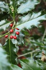 IMG_8956 (Geoff_B) Tags: badockswood bristol walkinthewoods autumn november unprocessed unedited holly berries