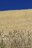 Golden grain of Sicily (piero.mammino) Tags: grano grain sicilia sicily paesaggio landscape cielo sky blu oro golden dorato