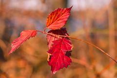 341/366 (Ravi_Shah) Tags: nj autumn cy365 potd colors sony a7ii fall leaves bokeh