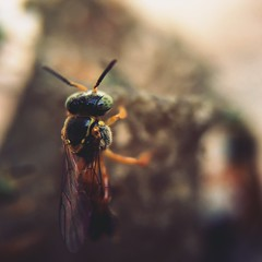 Bee (rvcroffi) Tags: abelha bee macro olloclip closeup nature natureza insect inseto