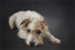 Pullo (Marijke M2011) Tags: dog dogportrait terrier parsonrussellterrier animal pet petportrait cute love huisdier hond hondenportret indoor studio studiolightning friend