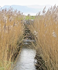 6345 Phragmites leaning over Avon Lleiniog (Andy - Busyyyyyyyyy) Tags: 20161105 aaa aberlleiniog avonlleiniog phragmites ppp reed rrr seedhead sss