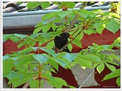 Amselmann Kurti - Mr. Blackbird Kurti