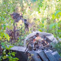 Sparrows /  (andreyalpha) Tags: street summer food green bird nature birds garden bread lunch wings backyard outdoor wildlife sony ukraine eat sparrow meal          slta37