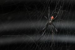 "Black widow • <a style=""font-size:0.8em;"" href=""http://www.flickr.com/photos/27717602@N03/9251564664/"" target=""_blank"">View on Flickr</a>"