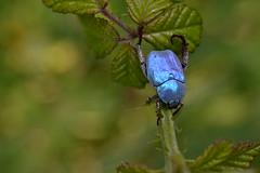 Hoplia coerulea ♂ (esta_ahi) Tags: barcelona españa azul fauna spain escarabajo coleoptera penedès coerulea insecta ♂ rutelidae polyphaga scarabaeoidea испания santmartísarroca hopliacoerulea scarabaeiformia hoplia hopliinae riudefoix