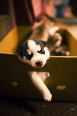 Husky pup (CameronNunez) Tags: wedding 2 portrait music puppy lens prime orlando husky artist photographer florida mark ii cameron jacksonville 5d freelance nunez cameronnnnunezcom