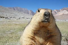 Close Up Marmot (saish746) Tags: park cute animal ball big high furry rat altitude fat teeth national marmot tso himalaya leh himalayan fearless pangong brackish ladhak