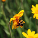 Bumblebee on Orange Arnica flowers