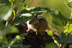 """Chipmunk • <a style=""""font-size:0.8em;"""" href=""""http://www.flickr.com/photos/63501323@N07/9456506237/"""" target=""""_blank"""">View on Flickr</a>"""