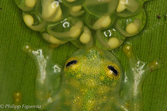 Glas frog with eggs (Philipp Ric. Figueroa) Tags: costa macro nature animals forest rainforest costarica wildlife rica frog frogs eggs amphibians glas herp herpetology