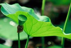 Lotus (EYE OF ZEICA) Tags: china leica summer flower slr film lotus kodak apo r e100vs r8 r70180