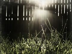 Shine On (Shelby's Trail) Tags: wood morning light sun wet grass fence mybackyard hcs hff twtme fencefriday clichesaturday ~~fencefriday~~nottheoriginal