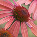 3rd Place - Flora - Kathy Turner - Coneflower